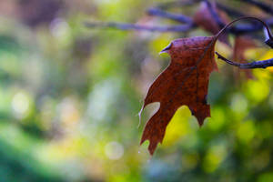 Brown Leaf in October with Green Background
