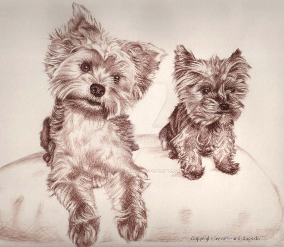 Two Yorkis - Yorkshire Terrier by ArtsandDogs