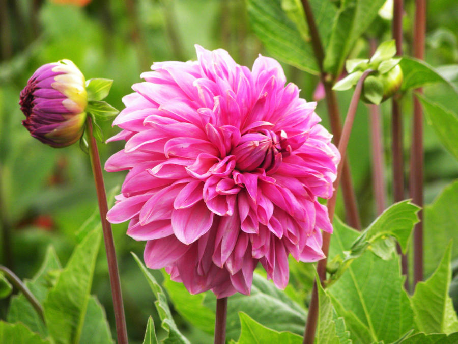 Big pink flower by cleararrow on deviantart big pink flower by cleararrow mightylinksfo