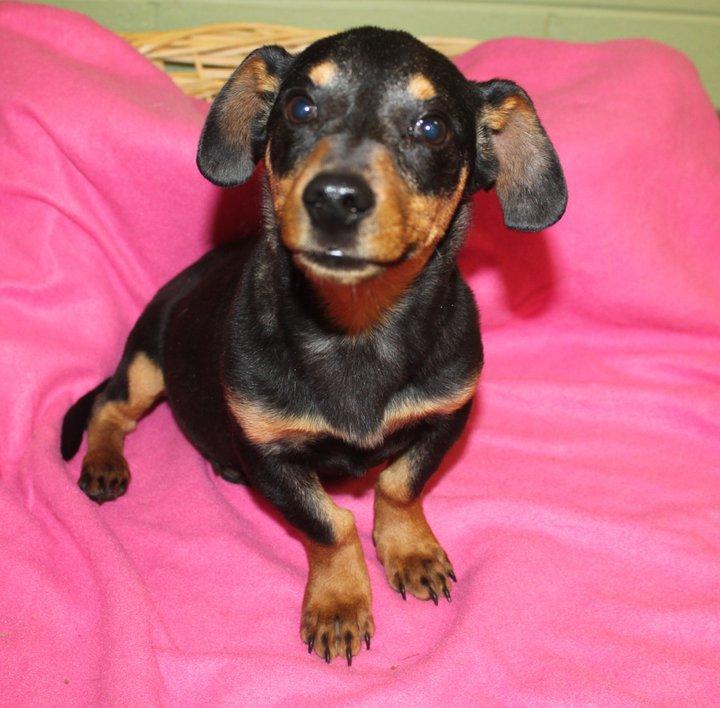 ... www.etsy.com/listing/68531509/weenie-dog-plush-pattern-dachshund-burda