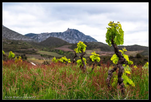 Where The Vines Grow