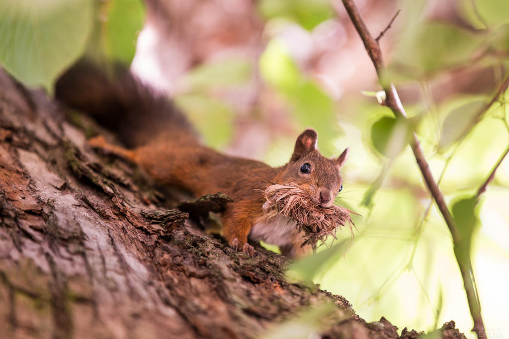 Squirrel #1 by fti7