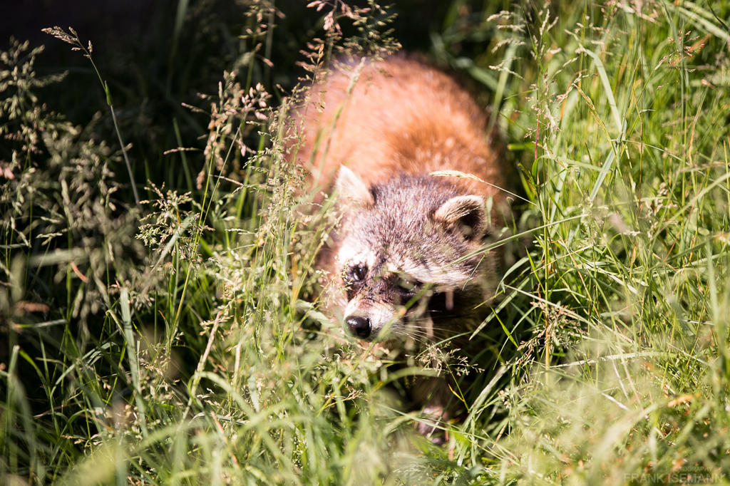 Raccoon by fti7