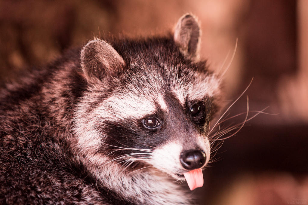 Cheeky Racoon by fti7