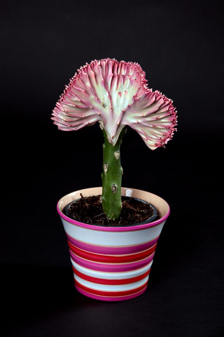 Euphorbia Lactea Cristata by Samashy