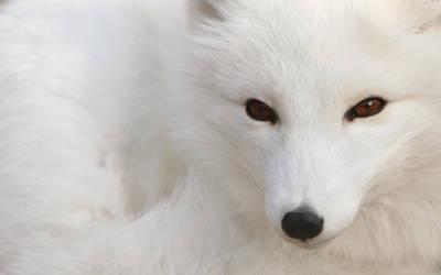 Polar fox by shdwwarrior