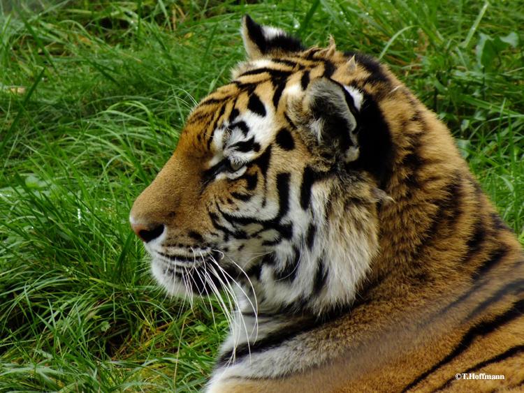Tiger portrait 2 by Panthera1985
