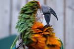 Longleat Parrot III