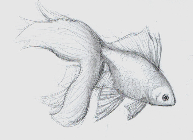 Goldfish Sketch By ClaireAiko On DeviantArt