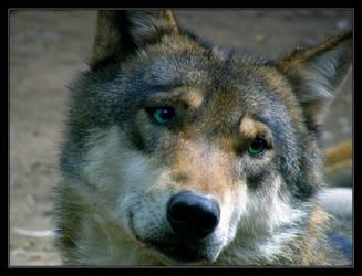 Wolf by Wilhelmine