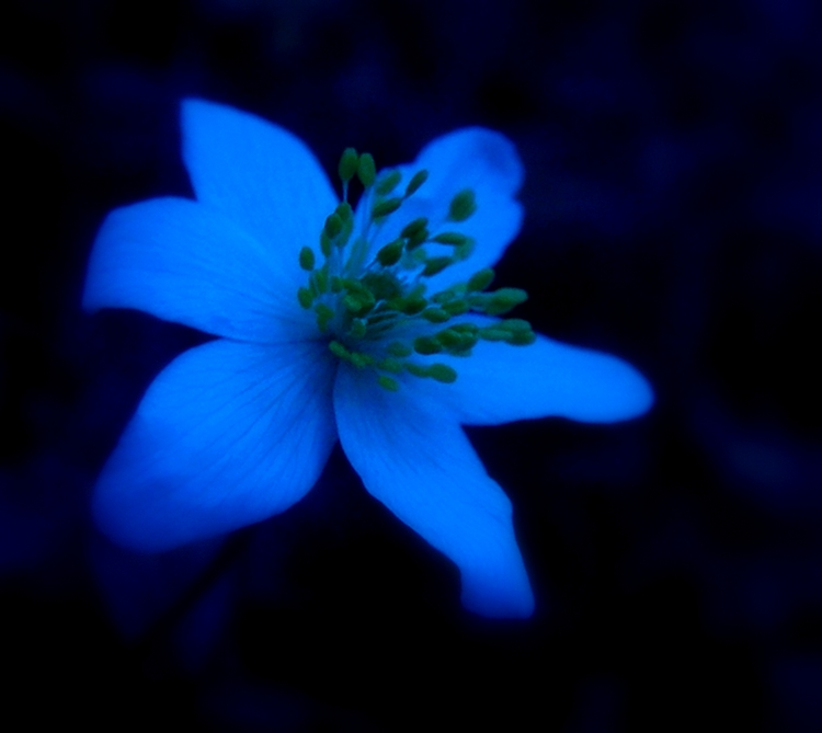 Night flower by wilhelmine on deviantart - Flowers that bloom only at night ...