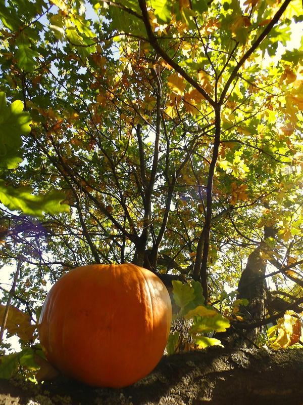 buy halloween pumpkins brisbane