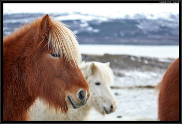 Icelandic horses by Miuquz