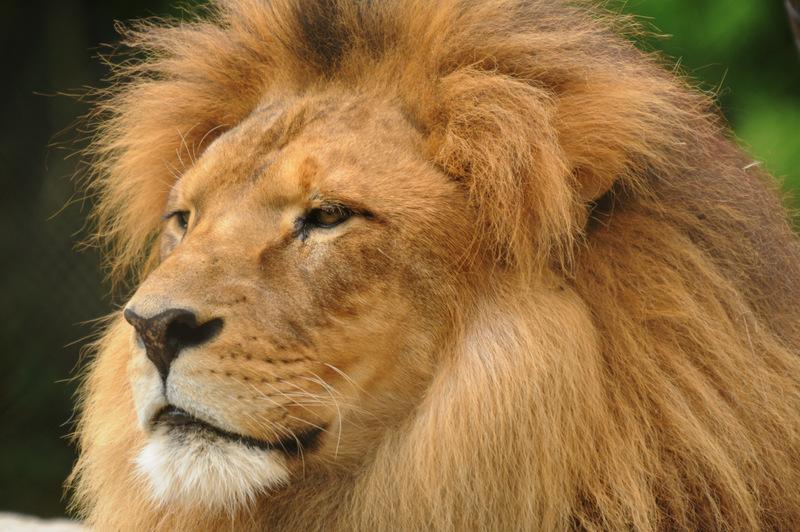 African Lion by DPasschier