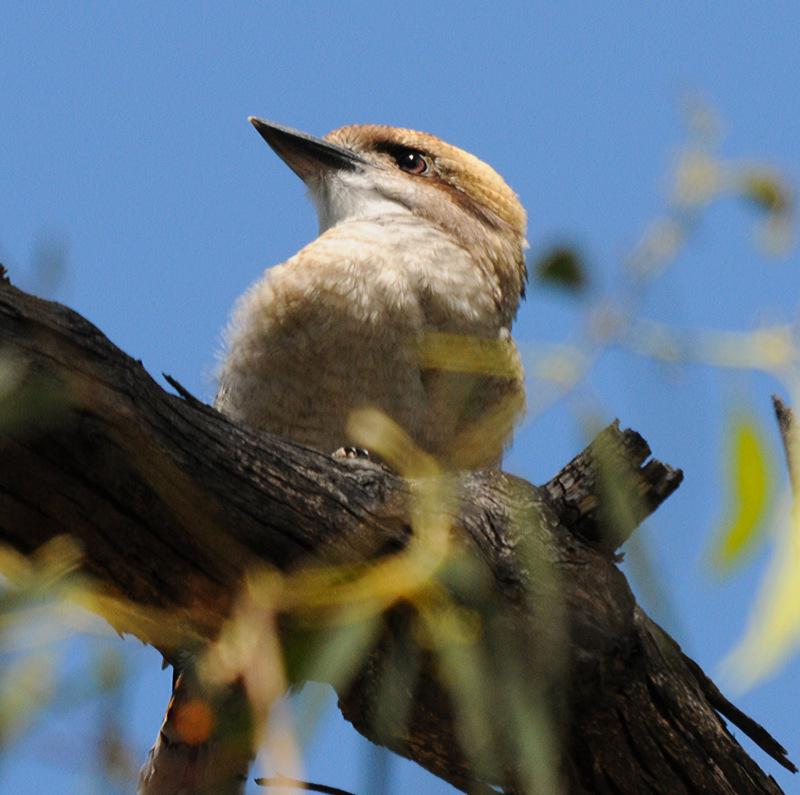 Kookaburra by DPasschier
