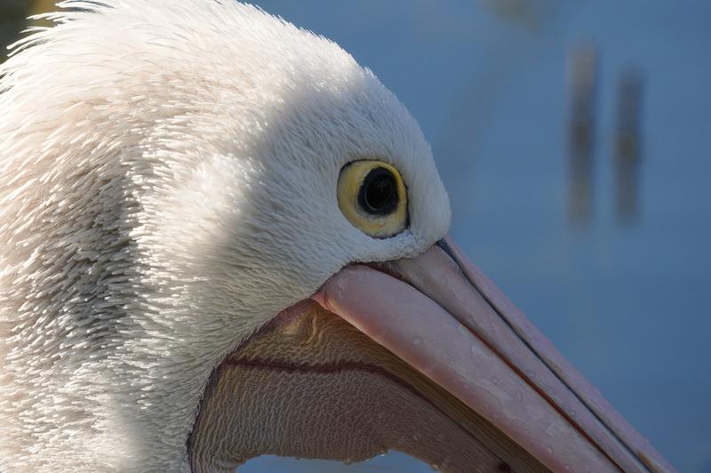 Pelican by DPasschier