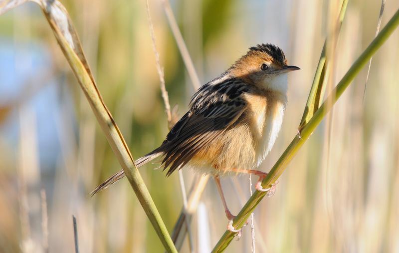 Little Grassbird by DPasschier