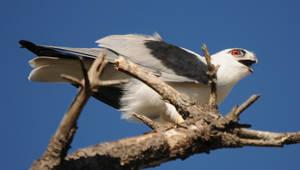 Black-Shouldered Kite. by DPasschier
