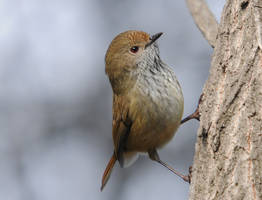 Brown Thornbill. by DPasschier