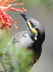 Yellow-Faced Honeyeater.7350