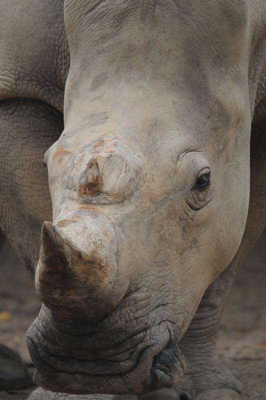White Rinoceros.9028 by DPasschier