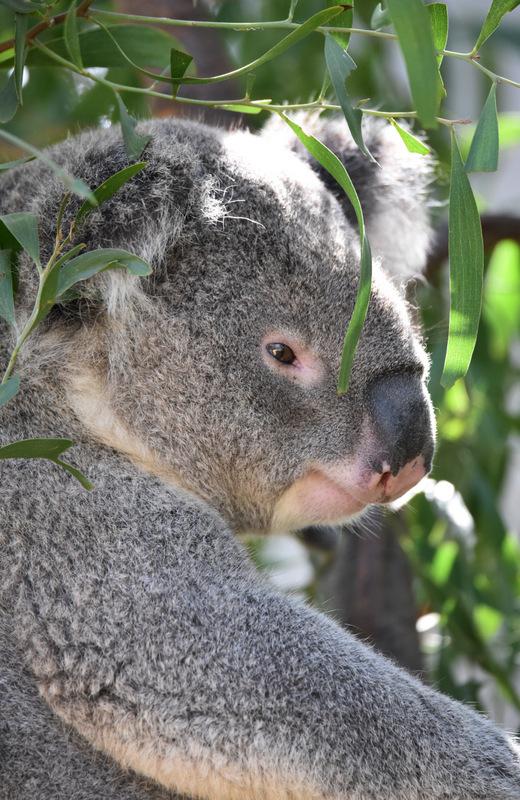 Koala 3349 by DPasschier