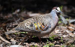Common Bronzewing (Male) 8042