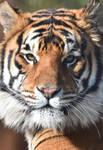 Bengal Tiger 1933.5