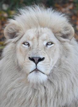 White Lion 2964b