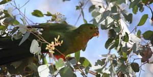 Australian King-Parrot 2095