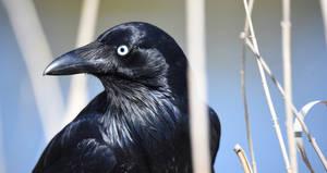Raven 2671