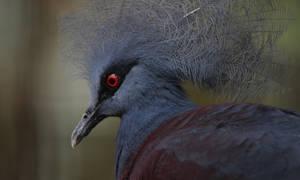 Scheepmaker's Crowned Pigeon.8496 by DPasschier