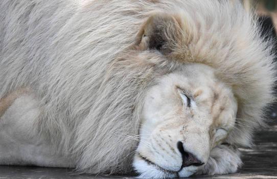 White Lion 0779