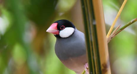 Java Sparrow 4693 by DPasschier