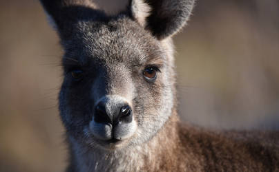 Kangaroo 3968-001 by DPasschier
