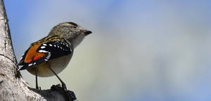 Red-Rumped Spotted Pardalote 1598.2