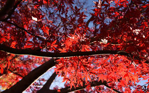 Flame Trees 4764-002 by DPasschier