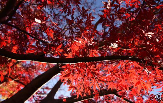 Flame Trees 4764-002