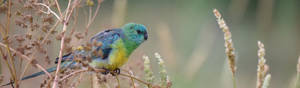 Red-Rumped Parrot 3122