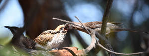 Red Wattlebird feeding Eastern Koel [juv] 3388 by DPasschier