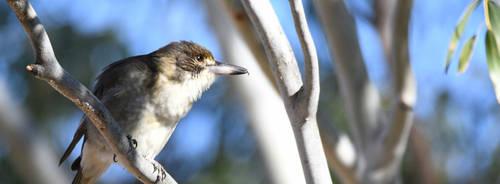 Grey Butcherbird [juv] 2169 by DPasschier