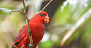 Red Lory 4684