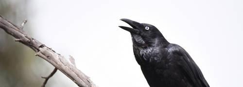 Raven 3229.2 by DPasschier