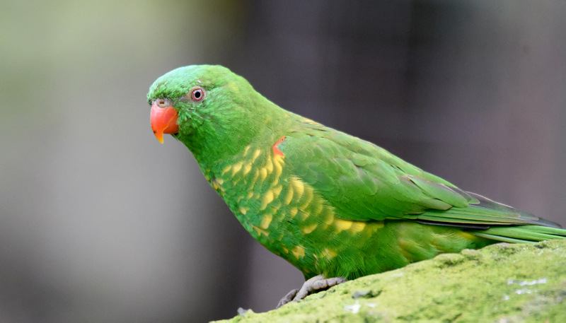 Scaly Breasted Lorikeet 4435 By Dpasschier On Deviantart
