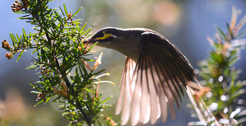 Yellow-Faced Honeyeater 7879