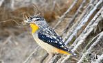 Spotted Pardalote 2709 by DPasschier