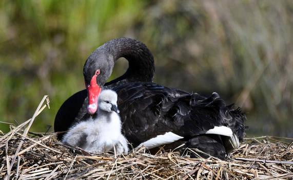Black Swan  Cygnet.3525