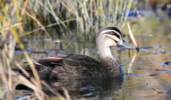 Pacific Black Duck.3143.2