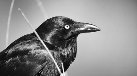 Raven 2664.2