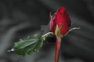 Red, Red Rose by Heidi-V-Art